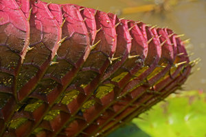 Victoria amazonica, spiny and anthocyanic undersurface of the leaf, Manaos, Amazonas, Brazil