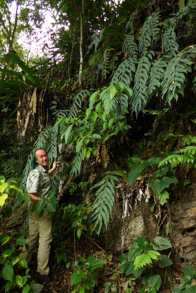 patrick blanc among huge drynaria fronds growing on vertical shaded limestone cliff with long pendant