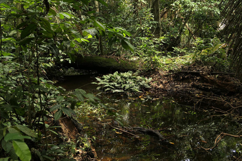 Imagen de la selva en Camerun con Anubias Gilletii