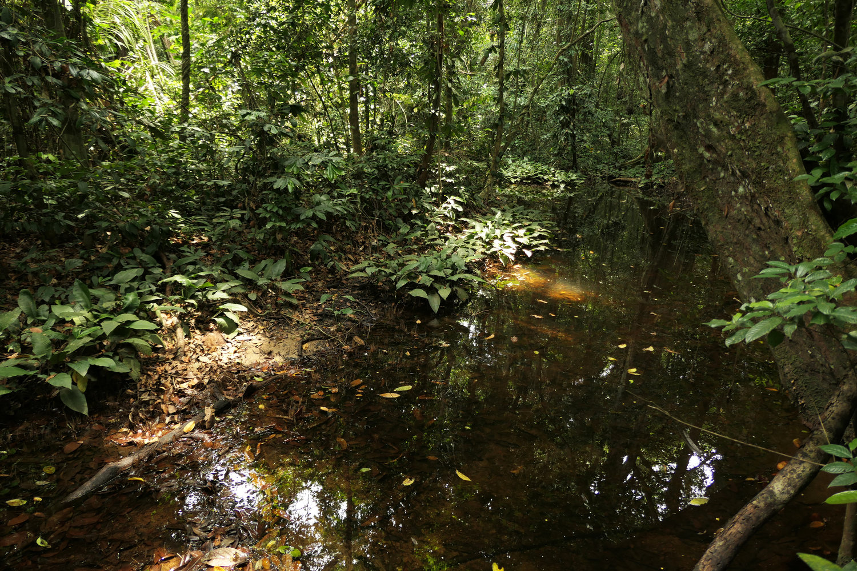 Hábitat natural de las Anubias Gilletiien Africa