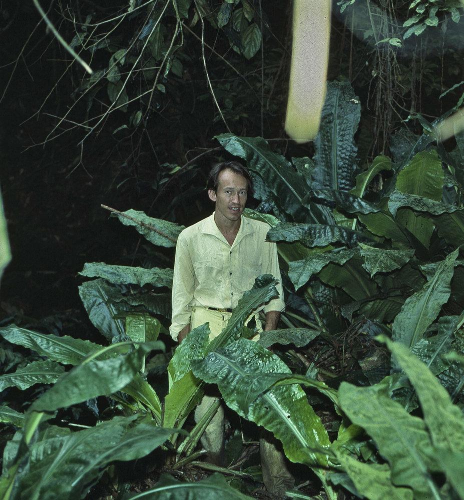 Patrick blanc among huge leaved palisota makokou gaboon 1983 - Patrick blanc mur vegetal ...